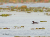 Baer's Pochard - sp 326