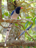 Red-billed Blue-Magpie - front view - 2011