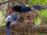 Red-billed Blue-Magpie - love offer - 2011