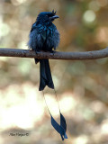 Greater Racket-tailed Drongo - 2011 - adult - wet