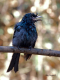Greater Racket-tailed Drongo - 2011 - juvenile - calling