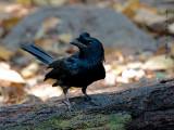 Greater Racket-tailed Drongo 2011- juvenile - alert