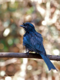 Greater Racket-tailed Drongo - juvenile - wet