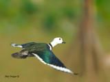 Cotton Pygmy-goose - male - 2011 - flight