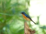 Hill Blue-Flycatcher - male - 2011 - far away