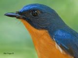 Hill Blue-Flycatcher - male - 2011 - portrait