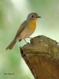 Hill Blue-Flycatcher - female - alert