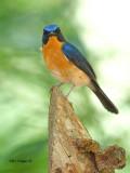 Hill Blue-Flycatcher - male - 2011 - me?