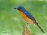 Hill Blue-Flycatcher - male - 2011
