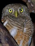 Asian Barred Owlet - 2011 - portrait
