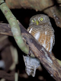 Asian Barred Owlet - 2011