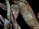 Asian Barred Owtlet -- sp 133