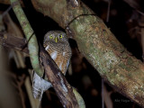 Asian Barred Owlet - 2011 - 3