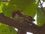 Javan Frogmouth - nesting