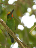 Red-throated Barbet - male - looking up