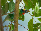 Red-throated Barbet - male - full mouth