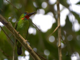 Red-throated Barbet - male - resting