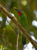Red-throated Barbet - male - 2011