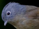 Grey-cheeked Fulvetta -- sp 88