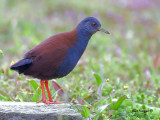 Black-tailed Crake -- Sp 253