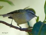 Ashy-throated Warbler - 2