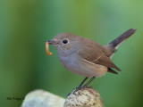 Red-throated Flycatcher -- sp 95