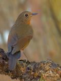 White-tailed Robin - female - 2011 - 3