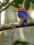 Rufous-collared Kingfisher - male - 3