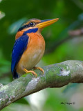 Rufous-collared Kingfisher - male - 4