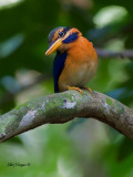 Rufous-collared Kingfisher - male - 2