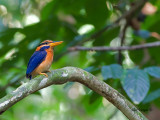 Rufous-collared Kingfisher - male - 5