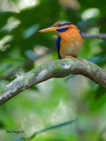 Rufous-collared Kingfisher - male - 6