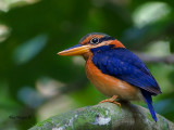 Rufous-collared Kingfisher - male