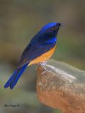 Rufous-bellied Niltava - male - 2011 - 3