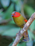 Red-faced Liocichla - 2011