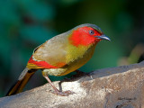 Red-faced Liocichla - 2011 - in harsh light