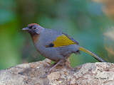 Chestnut-crowned Laughingthrush - 2011