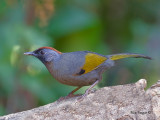 Chestnut-crowned Laughingthrush 2011 - 2