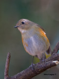 Red-flanked Bluetail - female 2 - 2011