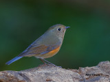 Red-flanked Bluetail - female - 2011