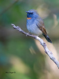 Rufous-gorgeted Flycatcher - male - 2011 - 3