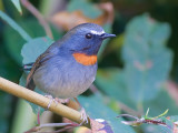 Rufous-gorgeted Flycatcher - male - 2011