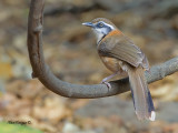 Lesser-necklaced Laughingthrush - 2011