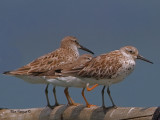 Great Knot - 2011