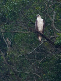 White-bellied Fish-Eagle - Perched