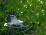 White-bellied Fish-Eagle - with Shrimp
