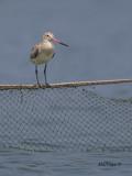 Bar-tailed Godwit - 2
