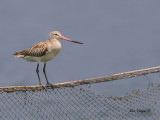Bar-tailed Godwit - non breed