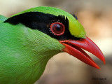Common Green Magpie - portrait