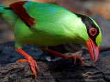 Common Green Magpie - profile